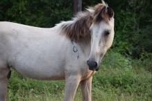 Viequense horse