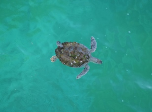 Green sea turtle at Navarre Beach Pier.