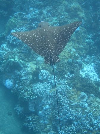 Spotted Eagle Ray. Photo: Cheryl King