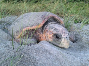 Nesting loggerhead sea turtle