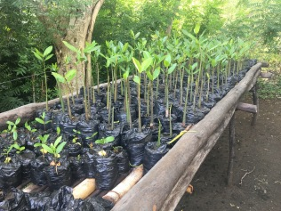 Three-month old mangroves ready for planting, Padre Ramos Natural Preserve.