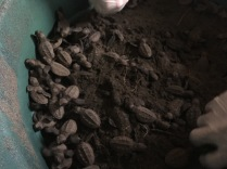 Newly hatched hawksbill sea turtles in the hatchery, Padre Ramos Natural Preserve.