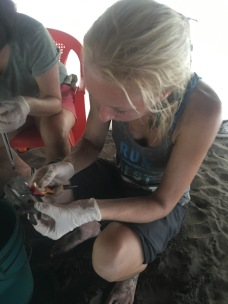 LMC S.W.I.M. participant measures newly hatched hawksbill sea turtle. Hatchery, Padre Ramos Natural Preserve.