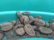 Hawksbill hatchlings, Padre Ramos Natural Preserve.