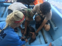 LMC S.W.I.M. participant, Stephanie, works with ICAPO biologists to tag the captured sea turtle.