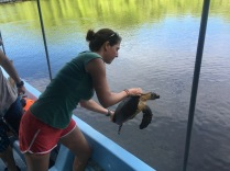 Once all data is collected and recorded, the turtle is released back into the estuary. Padre Ramos Natural Preserve.