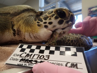 Marian, a juvenile green sea turtle, was found at Phil Foster Park with several constriction wounds and monofilament lines in the mouth.