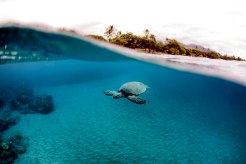 Honu passing by during a snorkel transect. PC: Jeff Biege Photography